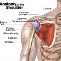anatomy-of-the-shoulder